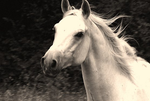 HD Animals Wallpapers: White Arabian Horse Pictures