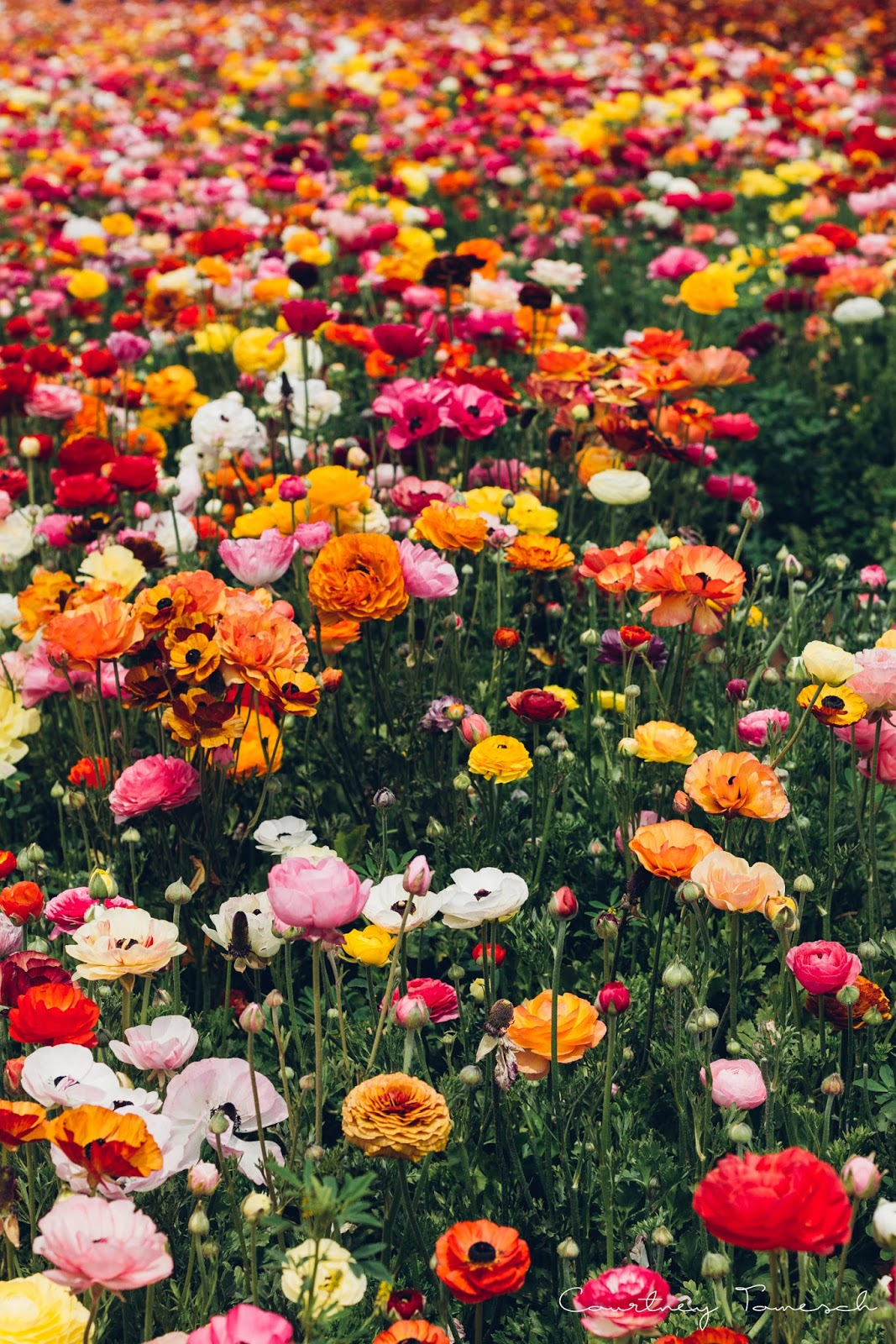Courtney Tomesch The Flower Fields Carlsbad, CA