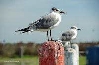 Laughing gulls, adults nonbreeding  Aransas Bay, TX, by Jodi Arsenault, Feb. 16, 2017