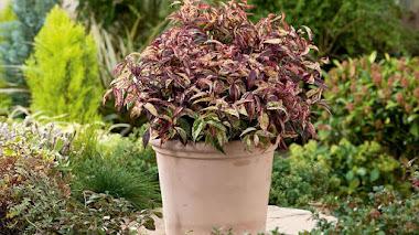 Arbustos con colorido follaje en otoño e invierno: Leucothoe