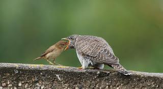 Afbeeldingsresultaat voor vogel uit het nest gooien