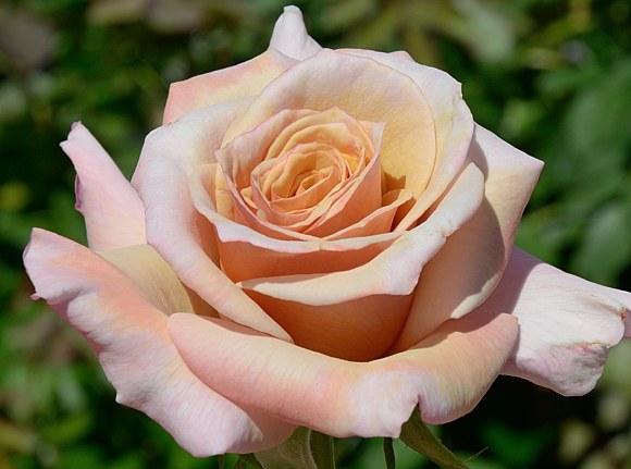 Creme Caramel сорт розы фото
