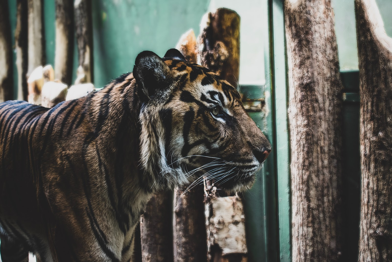 bengal-tiger-standing-near-wooden-logs-images