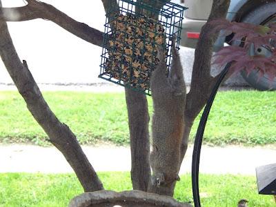 squirrel hanging on bird feeder