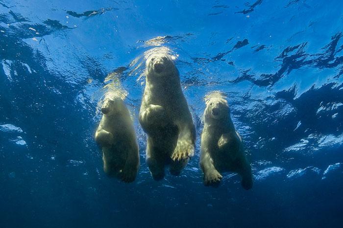 Beruang Kutub Berenang