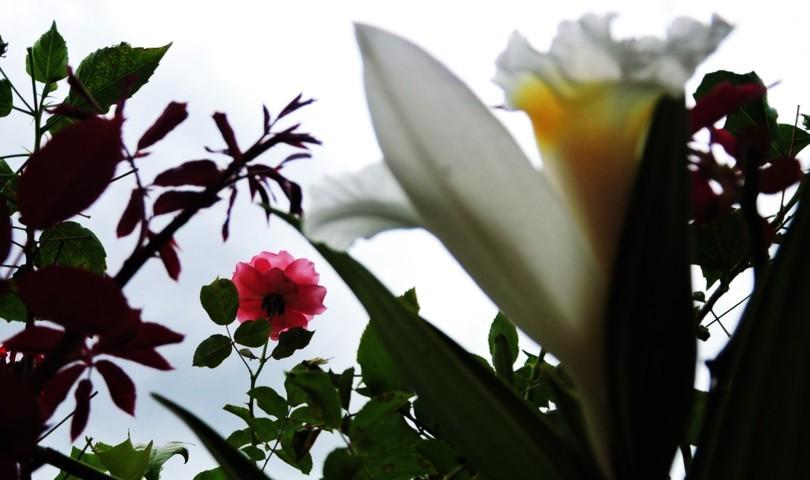 rosa en el fondo y flor blanca al frente