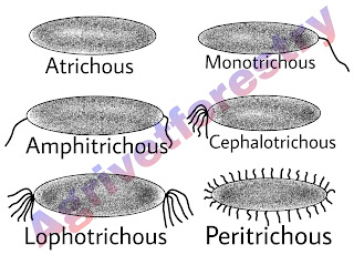 types of bacteria according to their flagella, types of rod shaped bacteria