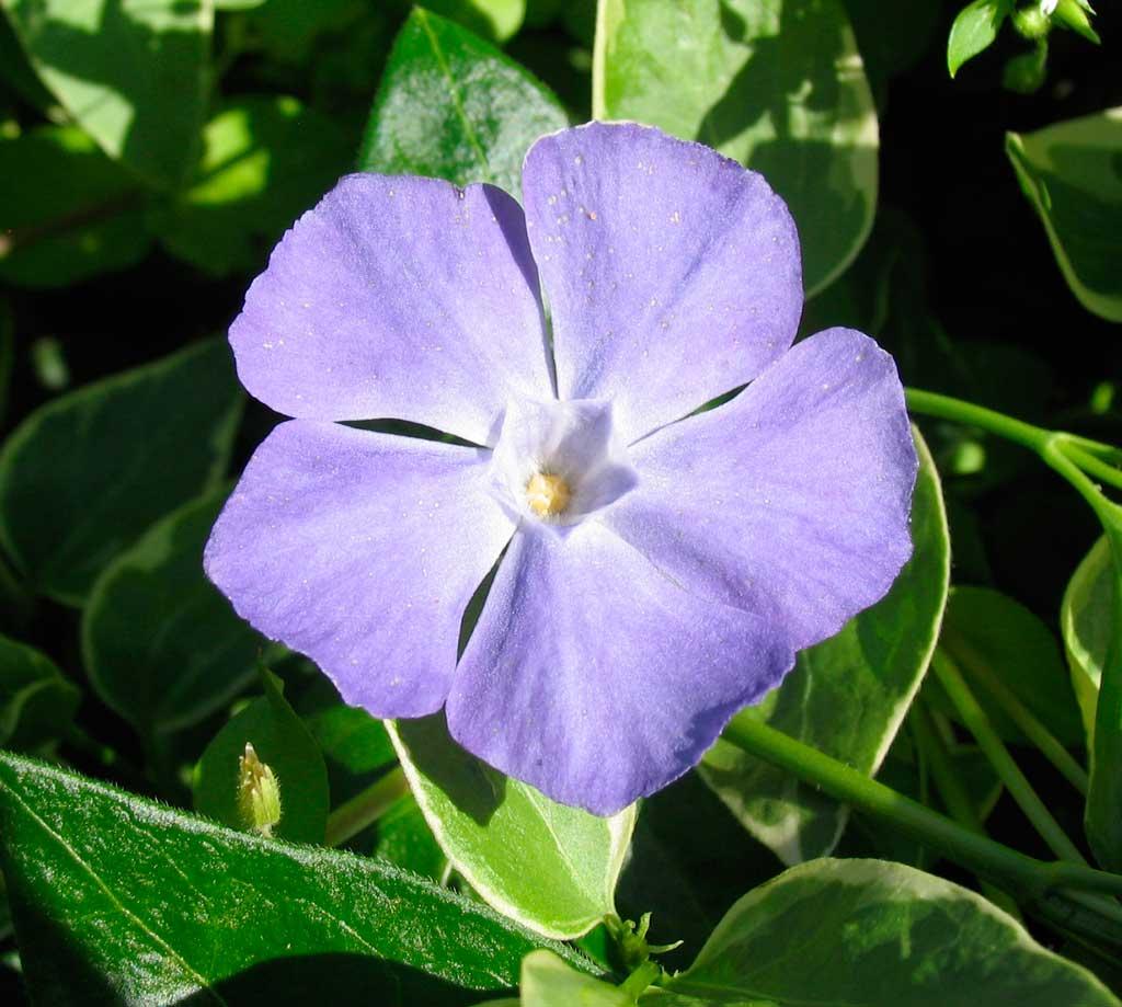 Vine Flowers Purple New Beautiful Flowers Beautiful Flower