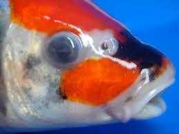 Penyakit Ikan Koi Cloudy Eye (Katarak): Ciri, Obat, & Pencegahan