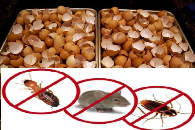 http://masakininet.blogspot.com/2017/04/kulit-telur-ampuh-basmi-tikus-kecoa-dan.html