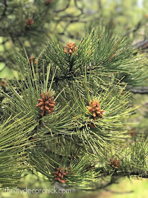 Pine trees Black Hills