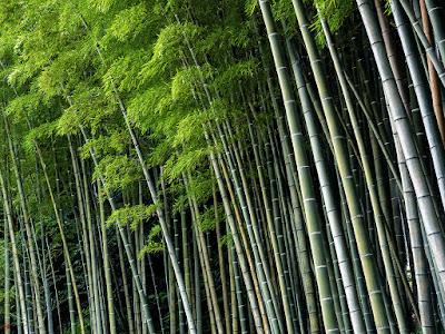 Bamboo grove: Jyochi-ji