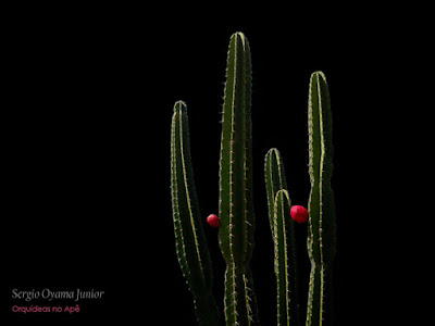 Cacto Cereus jamacaru