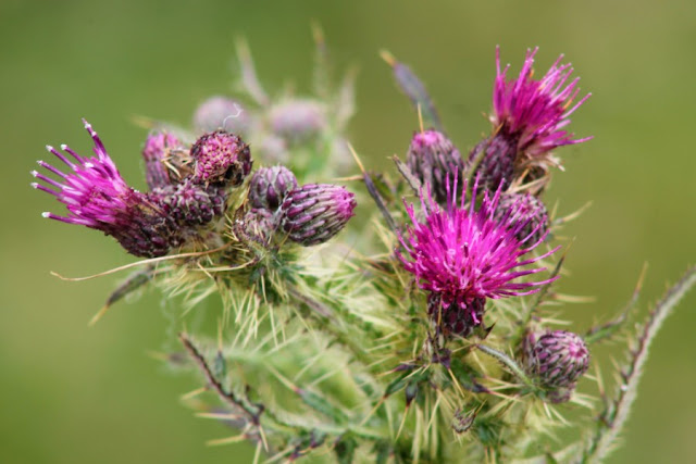 Purple Thistle on the Curragh
