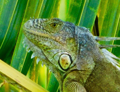 flora, fauna, iguanas, #payabay, #payabayresort, paya bay resort, nature,