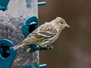 Photo of a Pine Siskin at a sunflower seed feeder