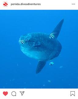 Mola Mola, Sumber : Instagram @penida.diveadventure