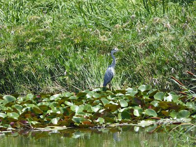 太秦2号公園で見られる野鳥 アオサギ