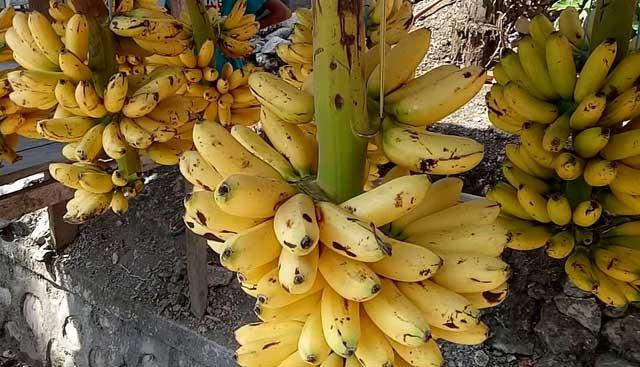 jenis-jenis pisang