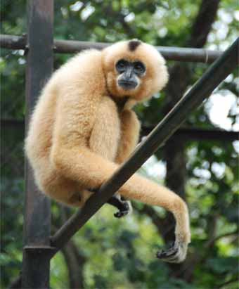 Black And Yellow Wallpaper Gibbon Wildlife The Wildlife