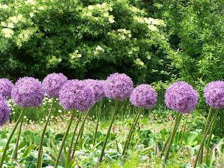 Tall stalks of purple allium tilted in the wind.