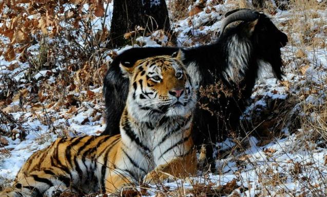 Что стало с дружбой козла Тимура и тигра Амура