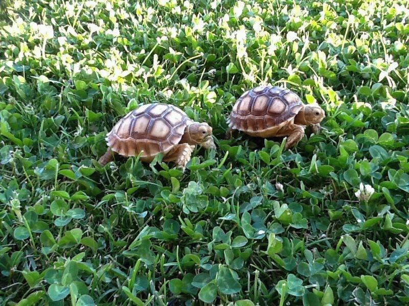 Resultado de imagen para tortugas de tierra con crias