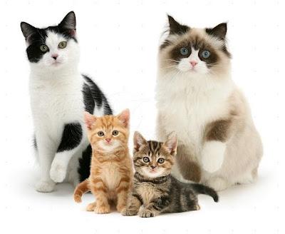 Peternak Ras Kucing