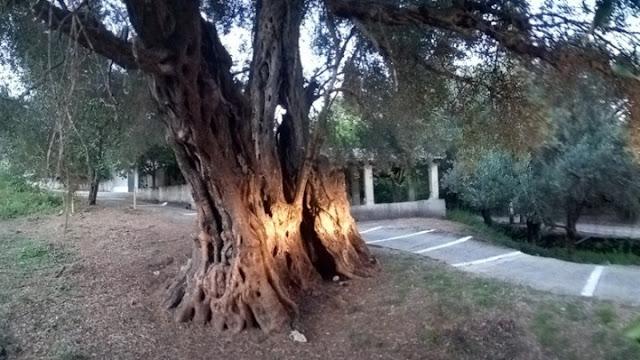 Ένα από τα αρχαιότερα ελαιόδεντρα του κόσμου βρίσκεται στην Κέρκυρα