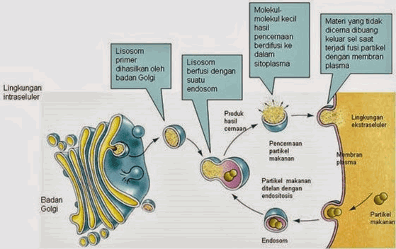 Proses Pembentukan Lisosom