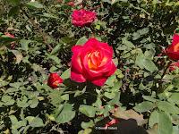 Perfect Moment hybrid tea rose - Christchurch Botanic Gardens, New Zealand