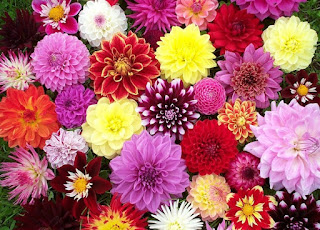 The many colors and varieties of Dahlias.
