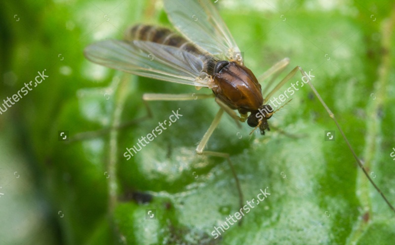 Home Remedies to get rid of Gnats