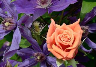 Ann Henderson сорт розы фото купить саженцы Минск питомник