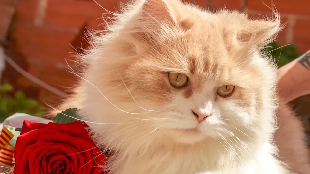Jenis-Jenis Kucing Persia Beserta Harganya