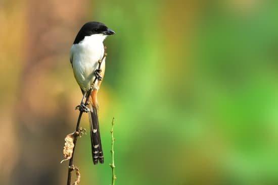 cara menjinakan burung cendet
