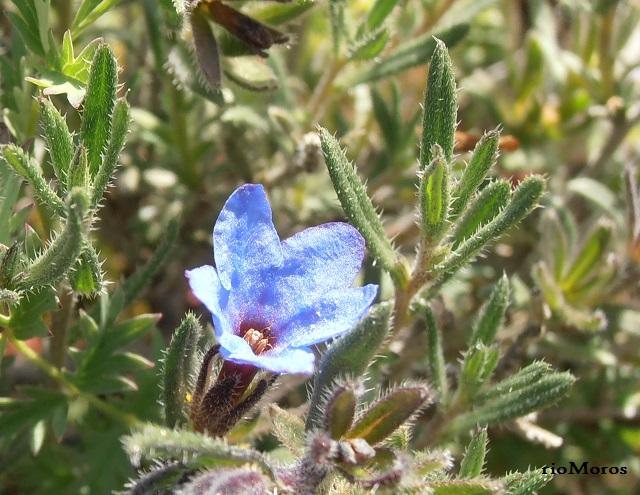 Flor de Asperones Lithodora fruticosa