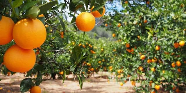 pixie orange farming in Kenya