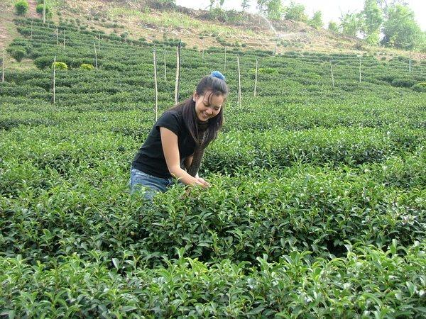 ชาเกษตรอินทรีย์์ ศูนย์ภูฟ้า การทำชาเกษตรอินทรีย์