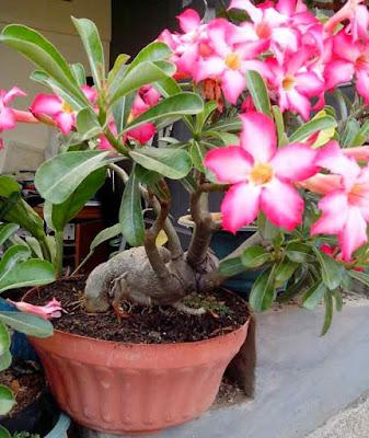 8 Khasiat Ramuan Bunga Kamboja Bagi Kesehatan Manusia