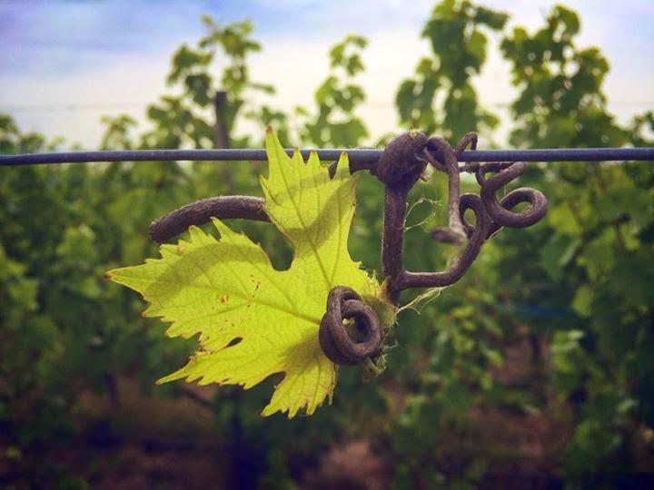 Une vigne d'Alsace
