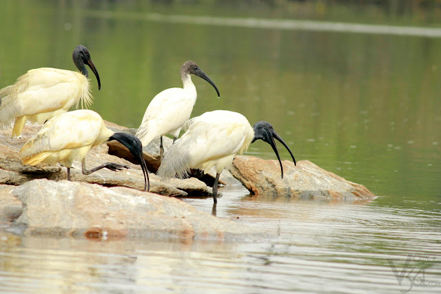 Black headed Ibis in river Kaveri