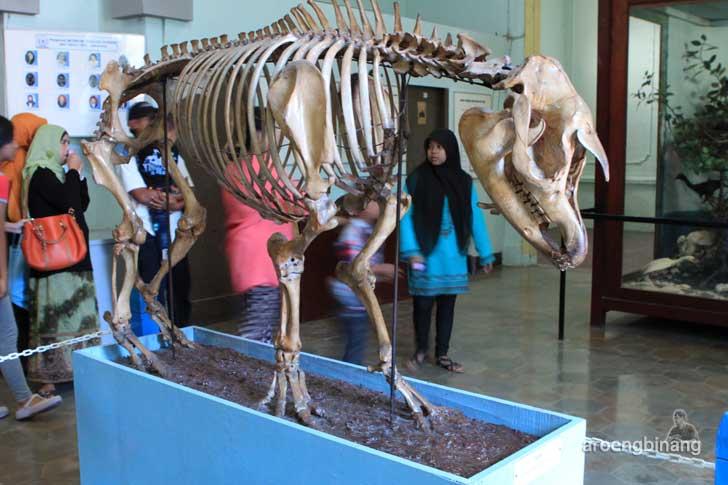 tapir museum zoologi bogor