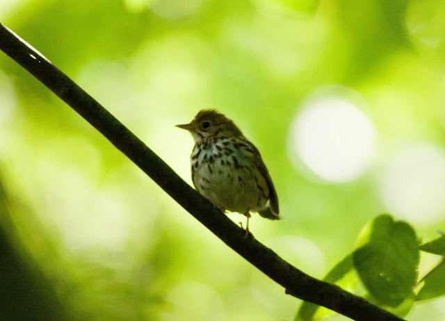 Ovenbird - Prospect Park, New York