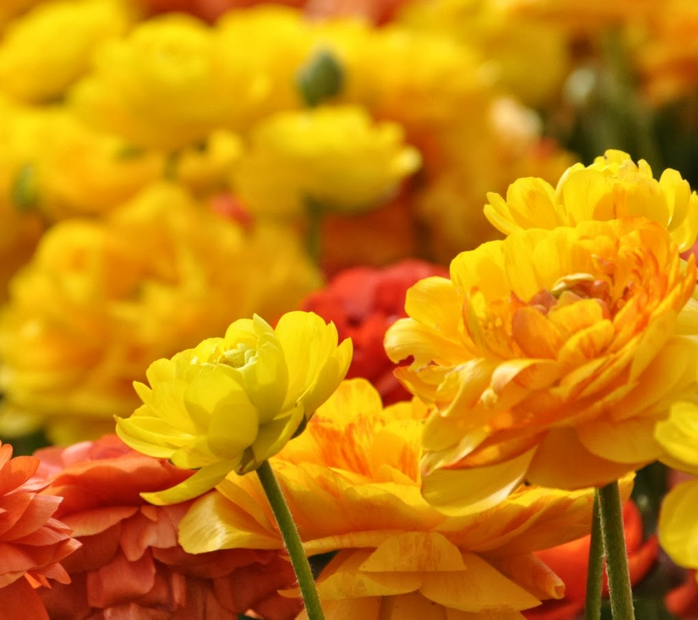 Beautiful Yellow Orange Flowers Hd Wallpapers
