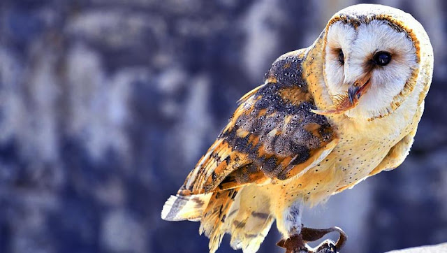Barn Owl Knowledge to be deepened