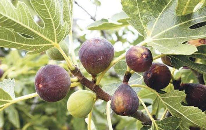 terlaris termurah bibit pohon tin ara brown turkiy super Banjarmasin