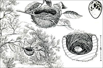 Choca común Thamnophilus caerulescens