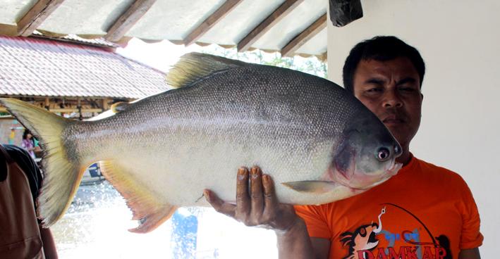 Umpan Pancing Jitu Ikan Bawal Galatama