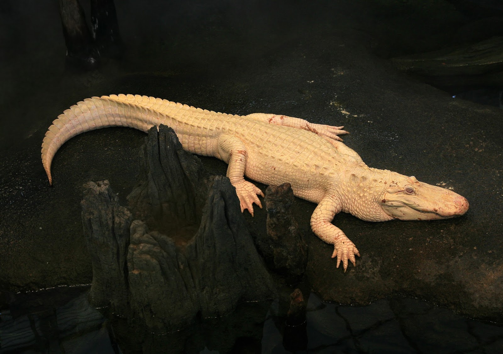Reptiles: Albino Alligator
